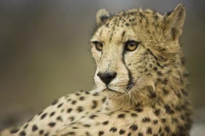 Livingstone, Zambia, Africa. Cheetah-Janet Muir-Photographic Print