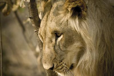 Livingstone, Zambia. Pensive Look of a Young Male Lion-Janet Muir-Photographic Print