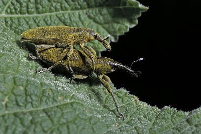 Lixus Algirus (Weevil) - Mating-Paul Starosta-Photographic Print
