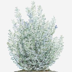 Illustration of Artemisia Tridentata (Sagebrush) Shrub by Liz Pepperell