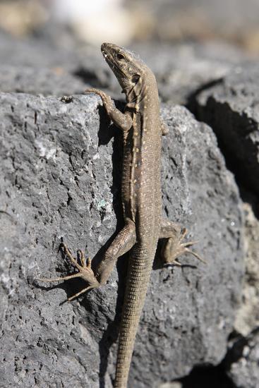 Lizard, La Palma, Canary Islands, Spain, 2009-Peter Thompson-Photographic Print