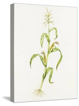 Maize (Zea Mays)