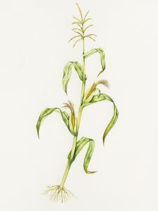 Maize (Zea Mays) by Lizzie Harper
