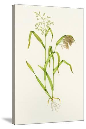 Proso Millet (Panicum Miliaceum), Artwork