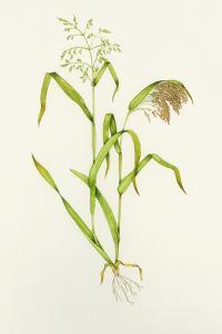 Proso Millet (Panicum Miliaceum), Artwork by Lizzie Harper