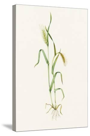 Two-row Barley (Hordeum Distichum)