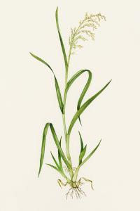 Wild Rice (Zizania Aquatica) by Lizzie Harper