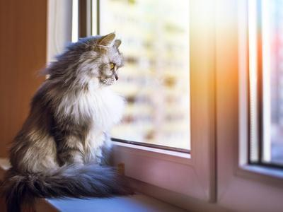 Beautiful Grey Cat Sitting on Windowsill and Looking to a Window