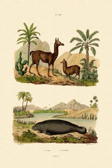 Llama, 1833-39--Giclee Print