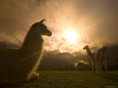 Llama and Clearing Mist Along Inca Trail-Ralph Lee Hopkins-Photographic Print