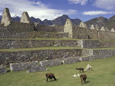 Llama and Ruins, Machu Picchu, Peru-Claudia Adams-Photographic Print