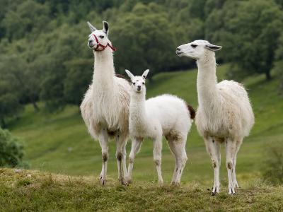 Llama Family-Richardson Rolf-Photographic Print