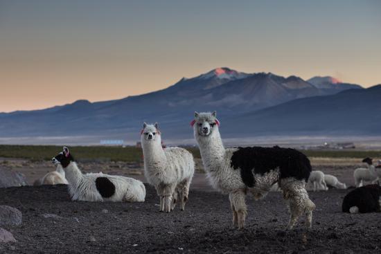 Llama Gathering in the Sajama National Park-Alex Saberi-Photographic Print