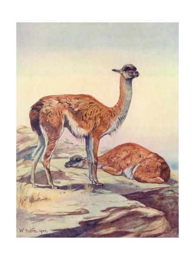 Llama, Guanaco 1909-Winifred Austen-Giclee Print