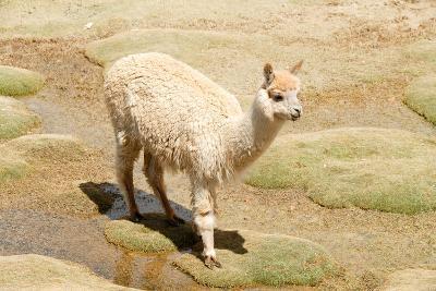 Llama in A Mountain Landscape, Peru-demerzel21-Photographic Print