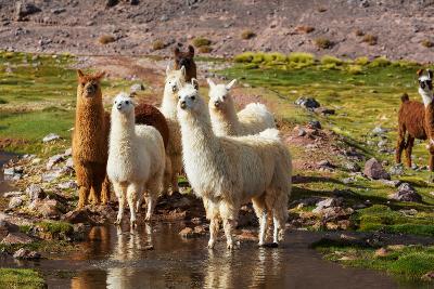 Llama in Argentina-Andrushko Galyna-Photographic Print