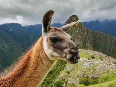 https://imgc.artprintimages.com/img/print/llama-in-machu-picchu-cusco-region-peru-south-america_u-l-q1btdai0.jpg?p=0