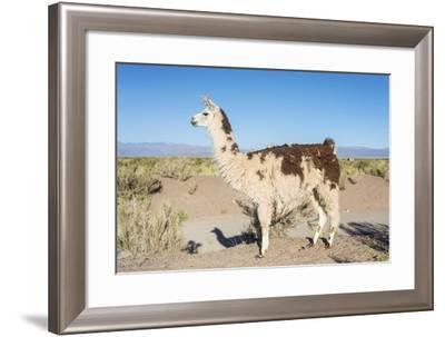 Llama in Salinas Grandes in Jujuy, Argentina.-Anibal Trejo-Framed Photographic Print