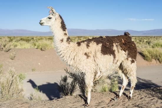 Llama in Salinas Grandes in Jujuy, Argentina.-Anibal Trejo-Photographic Print