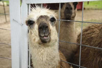 Llama (Lama Glama) Looking into Camera-Matt Freedman-Photographic Print