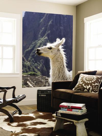 Llama (Lama Glama)-Brent Winebrenner-Wall Mural