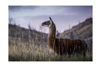 https://imgc.artprintimages.com/img/print/llama-portrait-i_u-l-q19bus50.jpg?p=0