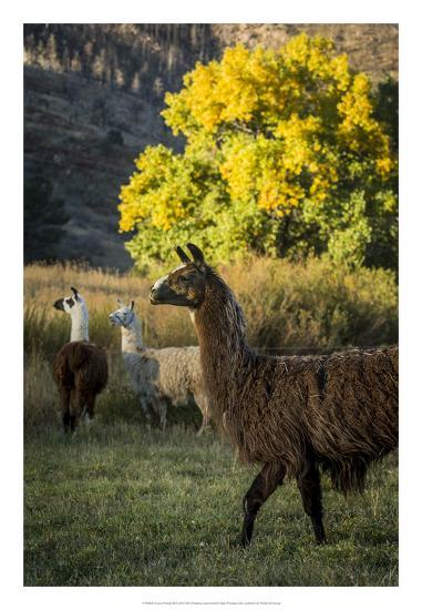 Llama Portrait III-Tyler Stockton-Art Print