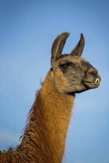 Llama Portrait IV-Tyler Stockton-Art Print