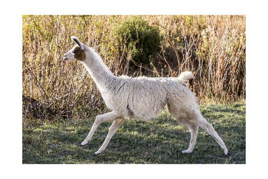 Llama Portrait IX-Tyler Stockton-Art Print