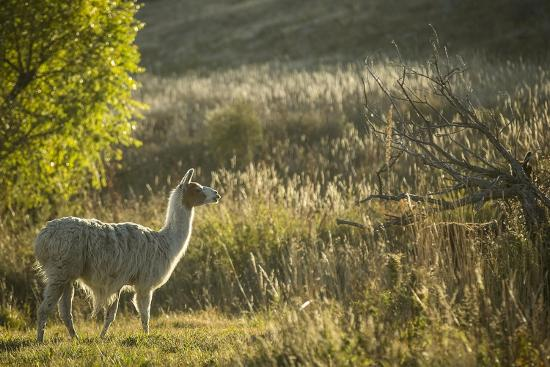 Llama Portrait V-Tyler Stockton-Art Print