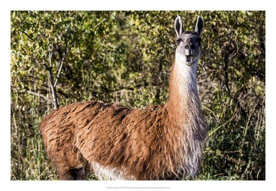 Llama Portrait VIII-Tyler Stockton-Art Print