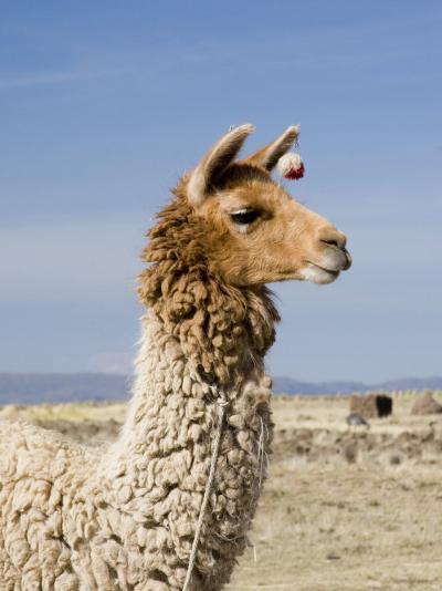 Llama Posing near Puno, Peru-Diane Johnson-Photographic Print