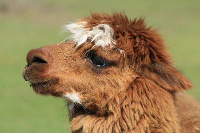 Llama-SWallace-Photographic Print