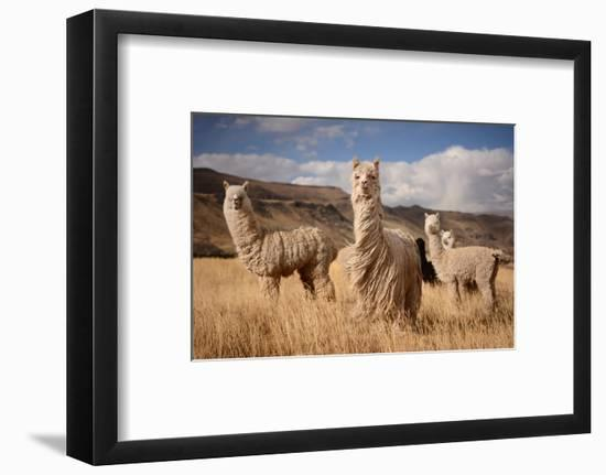 Llamas (Alpaca) in Andes Mountains, Peru, South America-Pavel Svoboda Photography-Framed Photographic Print