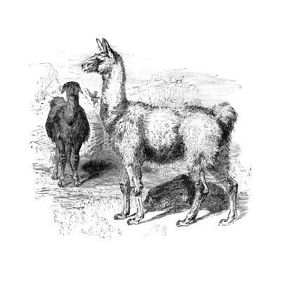 Llamas, C1880--Giclee Print