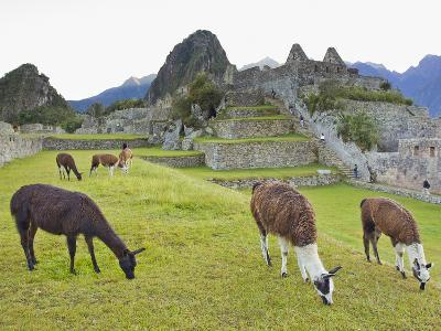 Llamas Eating on the Grounds of the Inca Ruins of Machu Picchu-Mike Theiss-Photographic Print