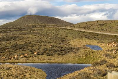 Llamas Grazing - Torres Del Paine Chile- robertprice87-Photographic Print