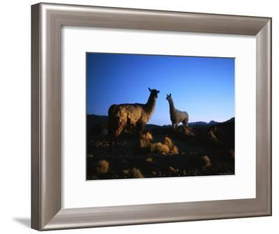 Llamas in the Atacama Desert at Dusk--Framed Photographic Print