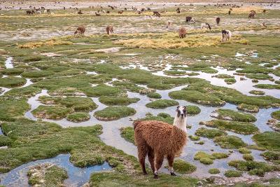 Llamas in the Mountains near Paso De Jama, Argentina-Chile-xura-Photographic Print