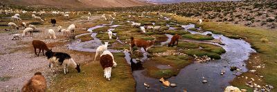 Llamas (Lama Glama) Grazing in the Field, Sacred Valley, Cusco Region, Peru, South America--Photographic Print