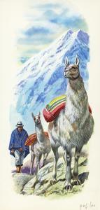 Llamas Lama Glama Used as Pack Animals