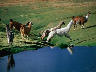 Llamas Leaping Over Spring Fed Water, Volcan Isluga National Park, Chile-Aaron McCoy-Photographic Print
