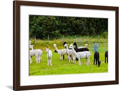 Llamas on Farm in Norway - Animal Nature Background-Nik_Sorokin-Framed Photographic Print