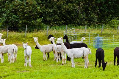 Llamas on Farm in Norway-Nik_Sorokin-Photographic Print