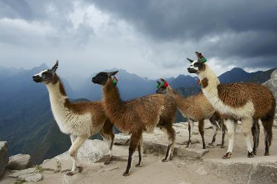 Llamas Stand on a Terrace High in the Andes-Jim Richardson-Photographic Print