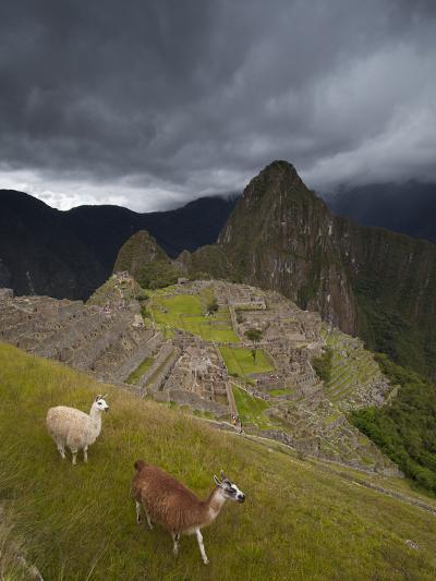 Llamas Walk around at Machu Picchu-Michael Melford-Photographic Print