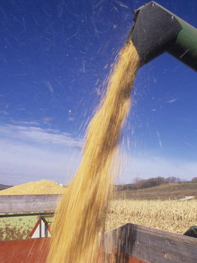 Loading Harvested Corn into a Truck (Zea Mays)-David Cavagnaro-Photographic Print