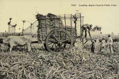 Loading Sugar Cane in Field, Cuba--Photographic Print