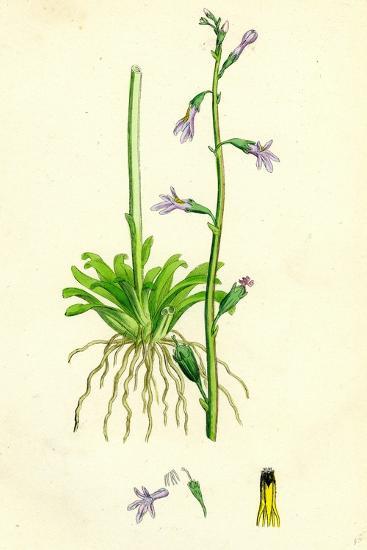 Lobelia Dortmanna Water Lobelia--Giclee Print
