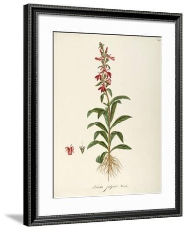 Lobeliaceae--Framed Giclee Print